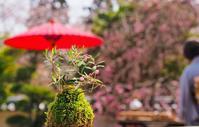 2019/4/7 三井寺お茶会~さまざまなこと想い出すさくらかな~ - 流雲 蒼穹 風に吹かれて