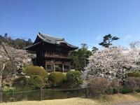 桜、満開! - 高麗べぇコロコロ