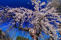 桜咲く京都2019長建寺のしだれ桜 - 花景色-K.W.C. PhotoBlog