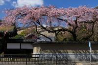 桜咲く京都2019有栖川宮旧邸のしだれ桜 - 花景色-K.W.C. PhotoBlog