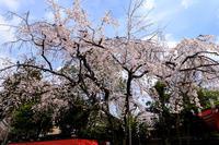 桜咲く京都2019溪仙桜咲く(車折神社) - 花景色-K.W.C. PhotoBlog