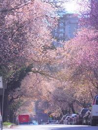 桜前哨戦in バンクーバー - 花散歩写真 in Vancouver