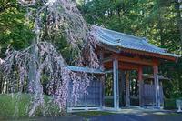 枝垂れ桜2019-04-08更新 - 夕陽に魅せられて・・・
