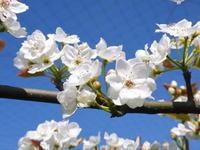 熊本梨本藤果樹園元気な花が咲咲く様子(2019)と惜しまぬ手間ひまの摘蕾、摘花作業 - FLCパートナーズストア