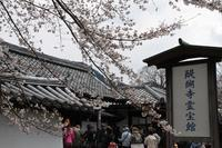 醍醐の桜#2 - 浜千鳥写真館