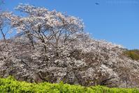 桜は満開、古民家もすっきりと... - T O K I B A K O