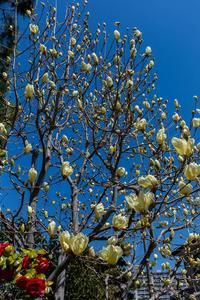 黄色い木蓮 - あだっちゃんの花鳥風月