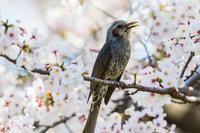 ついにヒヨドリを撮った - あだっちゃんの花鳥風月