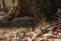私の2019年蝶活スタート 神奈川県のギフチョウ - 蝶・花・山~自然の色使い