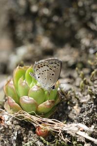 あまりに早い発生のクロツバメ - 蝶超天国