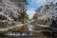 夙川公園の桜 - たんぶーらんの戯言