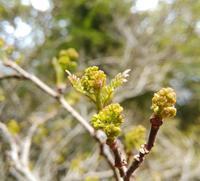 木の芽の香り… - 侘助つれづれ