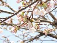 大朝の桜も開花。 - 大朝=水のふる里から
