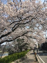花見日和 賀茂川 - 京都西陣 小さな暮らし