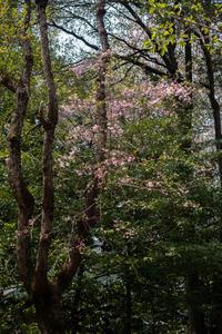桜 可憐に咲く - 彩りの軌跡