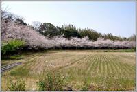 桜並木のある風景 - 野鳥の素顔 <野鳥と日々の出来事>