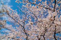 2019 桜咲く日々 - ろーりんぐ ☆ らいふ