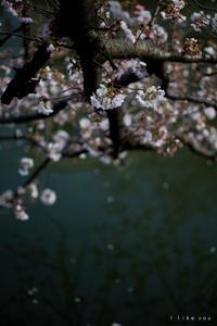大岡川の桜 - I like you