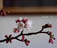 RICOHで撮ってみた桜 - カンパーニュママの暮らしの雑貨とポメプーころすけと日々の出来事日記