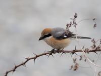 那珂川の河原にいたモズ - コーヒー党の野鳥と自然 パート2