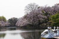 朝にお花見井の頭公園 - ペンタで行こう。