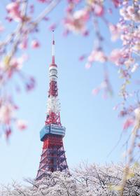 桜と東京タワー - 僕とマダムと先生と