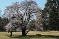 野川の桜その3 - 日本あちこち撮り歩記