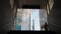 市ヶ谷駅の桜 - belakangan ini