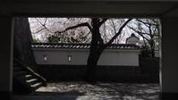 忍城跡の桜 - belakangan ini