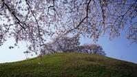 さきたま古墳群の桜 - belakangan ini