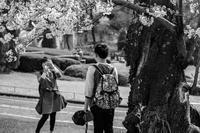 桜の前で日中に撮影するのは日本人、夜桜は外人さん。 - え~えふ写真館