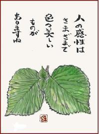 オオデマリの新芽が大きく育ちました。 - 蒼月の絵手紙 ex