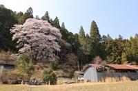 奥三河の桜 - ecocoro日和