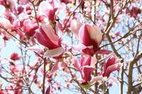 モクレンが綺麗に咲き誇っています - 神戸布引ハーブ園 ハーブガイド ハーブ花ごよみ