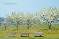桜さんぽ①白い桜 - みちくさのなか