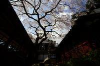 十輪寺のなりひら桜 - Deep Season