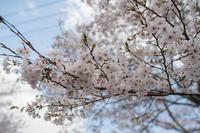 桜 - 力技的フォトログ