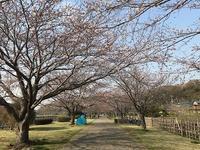 引地川親水公園の桜 - つれづれ日記