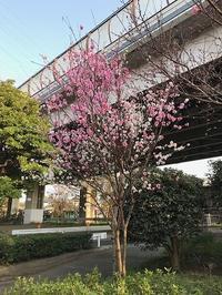 近所の桃の花 - つれづれ日記
