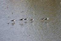 MFの公園でセイタカシギが見られました - 私の鳥撮り散歩