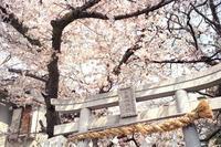桜素戔嗚神社 - YAJIS OFFICE BLOG
