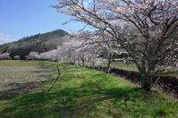 桜 - yoshiのGR散歩