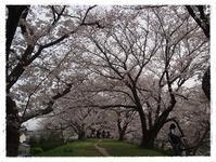 桜満開 in 酒津公園 - ひとりあそび