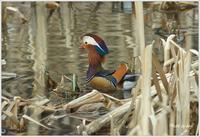 本別公園のオシドリ! - ・・・北海道・十勝の野鳥と自然・・・