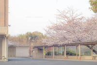 懐かしい桜。 - Yuruyuru Photograph
