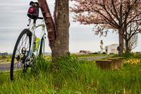 菜の花と散り桜 - ゆるゆる自転車日記♪