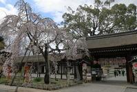 平野神社の魁桜 - ぴんぼけふぉとぶろぐ2