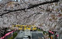桜並木の踏切 - 鉄道日記コム
