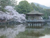 桜 - 南都☆花模様