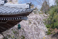 里のお寺の枝垂れ桜 - 気ままにお散歩